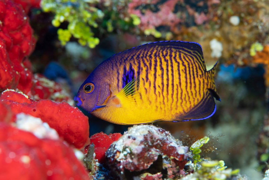 La PÇrouse Dwarf Angelfish with two spines Blancpain Ocean Commitment