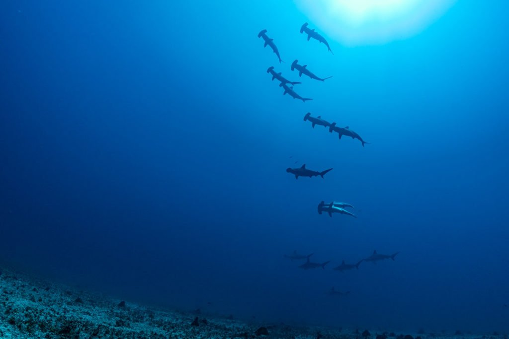 La PÇrouse Hammerhead sharks Laurent Ballesta Blancpain Ocean Commitment